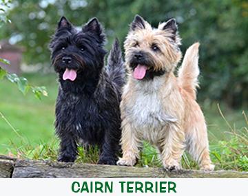 cairn terrier. Black Bedroom Furniture Sets. Home Design Ideas